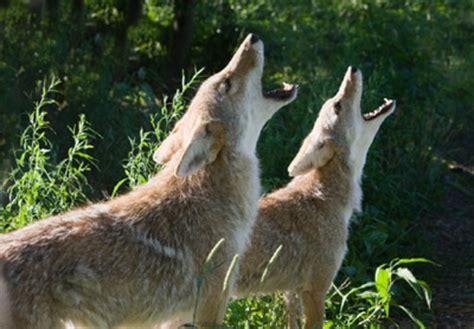 living  harmony  wildlife coyotes