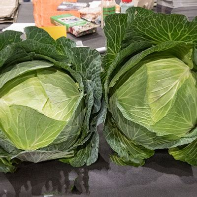 cabbage seeds giant hercules seeds fosters seeds