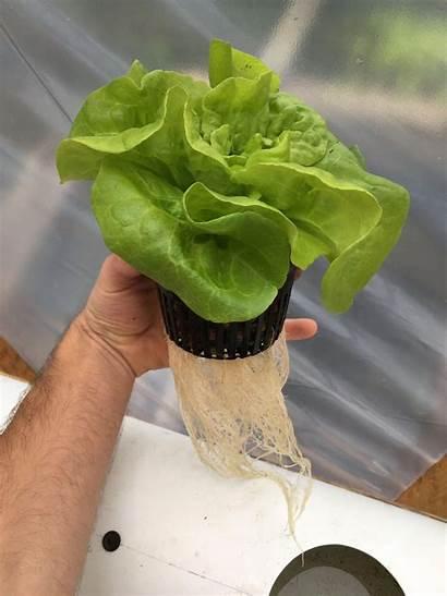 Hydroponic Lettuce Hydroponics Aquaponics Gardening Indoor Growing