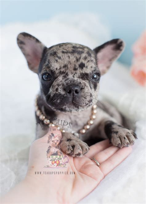 merle frenchie  sale  teacups puppies  boutique