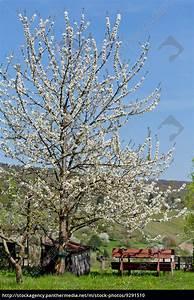 Baum Mit Blüten : baum obstbaum kirschbaum mit wei en bl ten auf einer stockfoto 9291510 bildagentur ~ Frokenaadalensverden.com Haus und Dekorationen