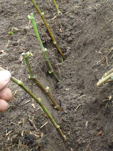 planter boutures figuier