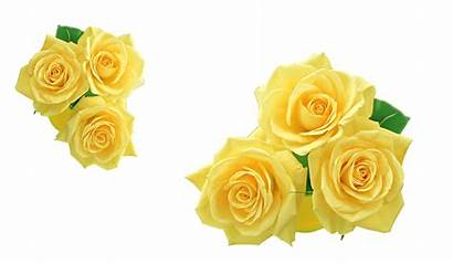 Yellow Rose Transparent Clip Flower Clipart Library
