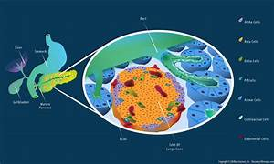 Cellular Structure Of The Pancreas Infographic