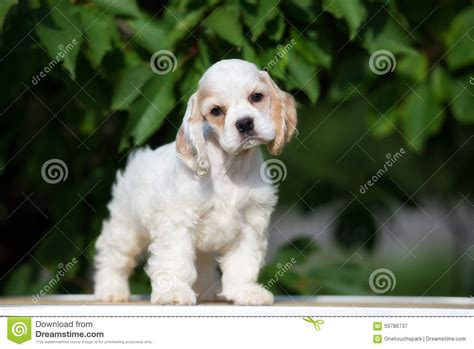 white  red american cocker spaniel puppy stock image image  young white