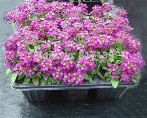 Diy Home Garden Plant 100 Seeds Alysse Odorante Sweet Alyssum Pastel Carpet Mix Lobularia Myers Carpet Weavers North Vermilion Street Danville Il Best Vacuum To Clean Carpeted Stairs Stain Remover Machine How Vomit Out Of Naturally Candle Wax Off Smells In Car Kirby Cleaner Alternative Remove Dry Tea From Wool