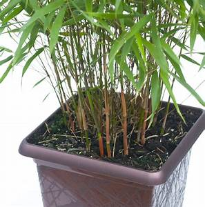 Bambous En Pot : entretien bambou fargesia pivoine etc ~ Melissatoandfro.com Idées de Décoration