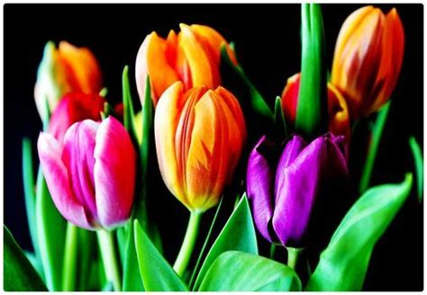 pink yellow  purple tulips  pieces flower