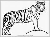 Harimau Kartun Binatang Kolase Singa Animasi Paud Mewarnaigambar Kreasi Bear Lembar Kreasiwarna Terlengkap Cikimm Ke Warnai Menggambar sketch template