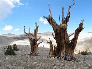 Tips For College Freshman Earth S Oldest Trees In Climate Induced Race Up The Tree