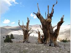 Earth's Oldest Trees in ClimateInduced Race up the Tree