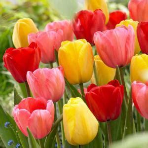 longfield gardens tulip darwin hybrid mix bulbs  pack