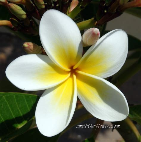 Hawaiian Tropical Flowers
