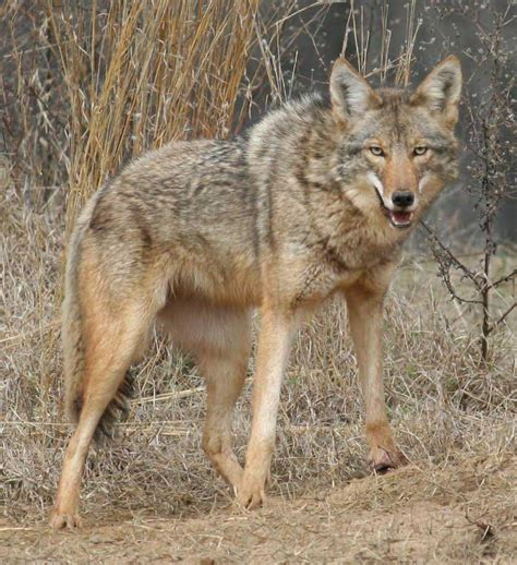 georgia coyote challenge begins march  brings chance