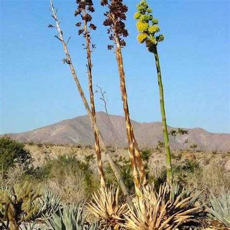 Agave deserti - Giromagi Cactus