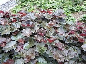 Rote Stauden Winterhart : rotes purpurgl ckchen staude heuchera micrantha palace purple pflanze rotbraunbl ttiges ~ Frokenaadalensverden.com Haus und Dekorationen