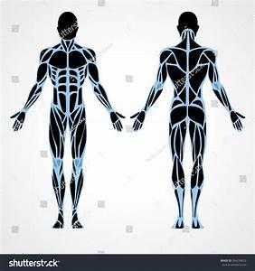 Male Muscular Anatomy Vector Scheme
