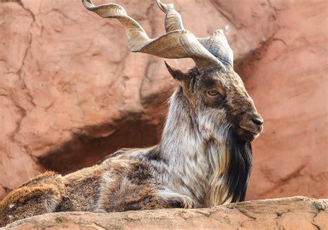 american hunter pays kill rare himalayan screw horned goat pakistans national