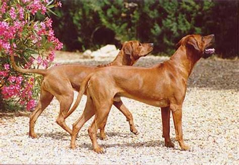 do rhodesian ridgebacks shed 63 best images about rhodesian ridgebacks on