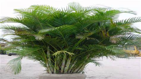 Areca-bambu,palmeira-areca (Dypsis lutescens) - YouTube