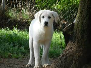 meet jerry a petfinder adoptable great pyrenees dog