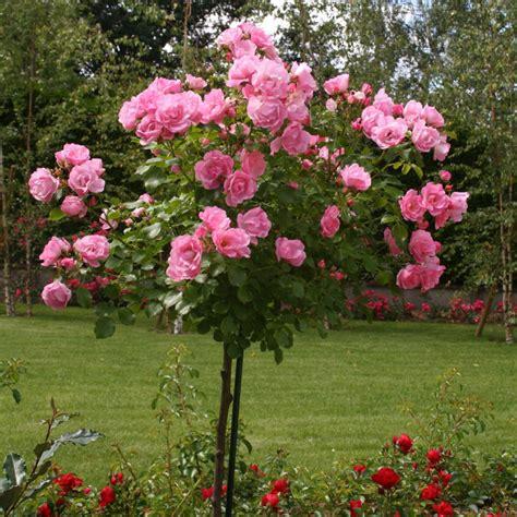 rosier tige decorosiers mareva guillot vente de rosier depuis 1829