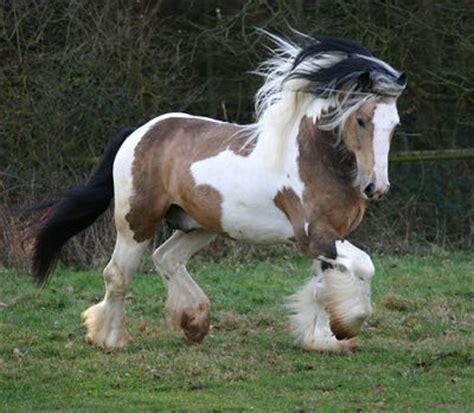 fuer alle die sich fuer pferde interessieren schecke