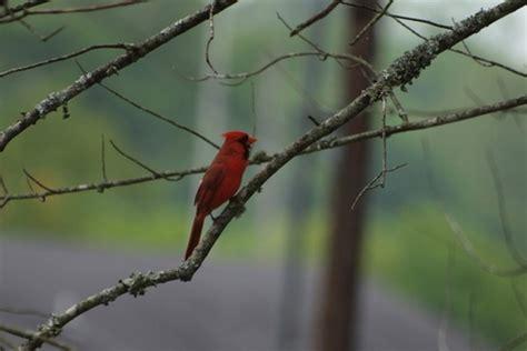 cardinal bird  stock     stock