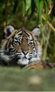 Pin on Tiger