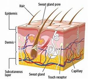 Chapter 36: Human Skin (The Integumentary System ...