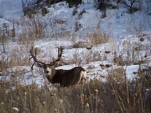Monster Mule Deer Bucks