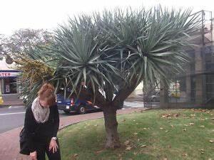Yucca Palme Winterhart : yucca torreyi palme winterfest stammbildend auch als ~ A.2002-acura-tl-radio.info Haus und Dekorationen