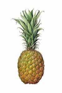 Pineapple Print Botanical Illustration on Fine Art Paper ...