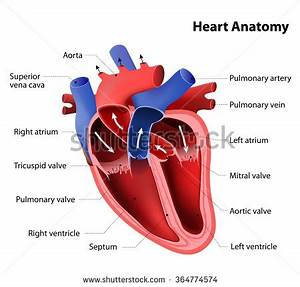Part Human Heart Anatomy Stock Vector 364774574 - Shutterstock