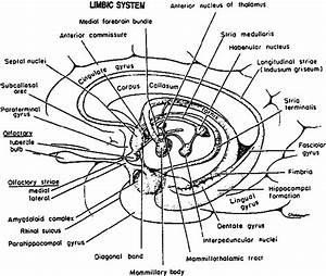 Blank Simple Limbic System Diagram