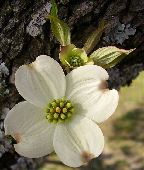 ideas  dogwood flowers  pinterest pink