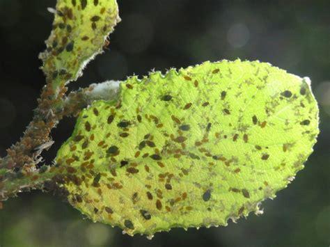 plante anti puceron anti puceron naturel 10 rem 232 des maison pour lutter