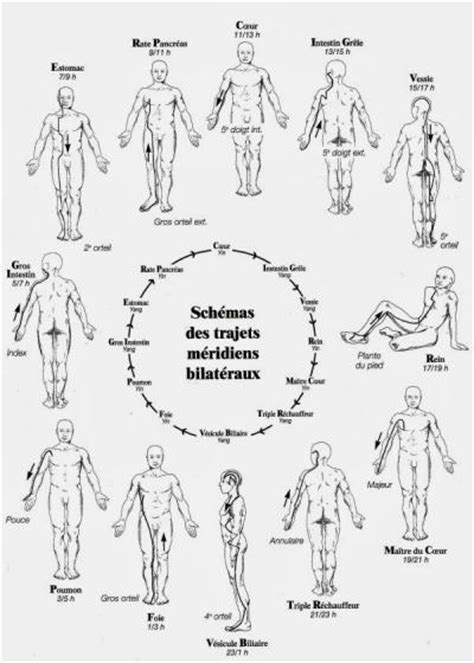 les 14 meridiens du corps humain