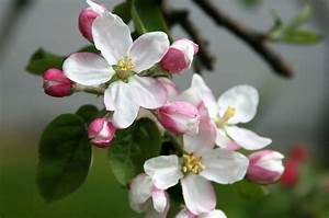 Michigan State Flower - The Apple Blossom