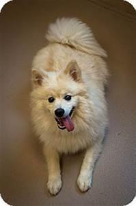 Fluffy | Adopted Dog | Appleton, WI | Pomeranian/American ...