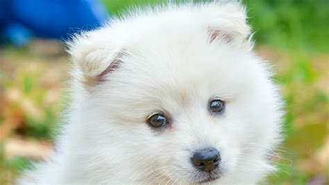 cute white puppy hd animals wallpapers hd wallpapers