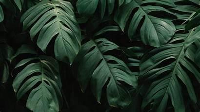 Leaves Plant Dark Monstera Background Vegetation 4k