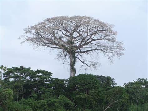 Amazon Rainforest Kapok Tree