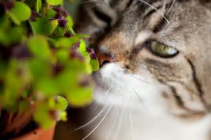 plants toxic to cats plants that are toxic to cats cat care catloversdiary