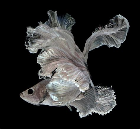 siamese fighting fish stunning new portraits of siamese fighting fish by visarute angkatavanich colossal
