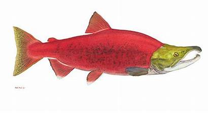 Salmon Sockeye Fish Edition Open Watercolor Fine