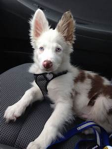 The 25+ best ideas about Red Merle Border Collie on ...