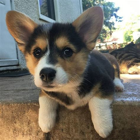 wolf corgi puppy best 25 wolf corgi ideas on pinterest funny puppies adorable animals and cute baby dogs