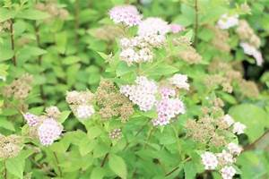 Spirea  Spiraea Bushes  Bridal-wreath Plant