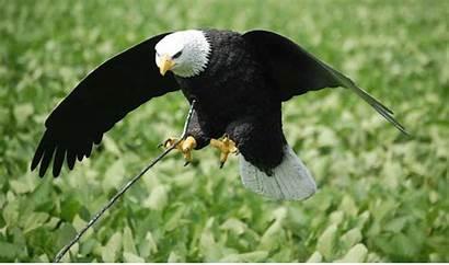 Eagle Decoy Assault Soaring Seagull Assualt